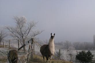 Les lamas des Grands Murcins
