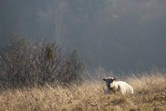 Un mouton dans son pré